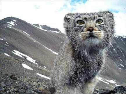 Une caméra a repéré un chat en voie d'extinction en Russie