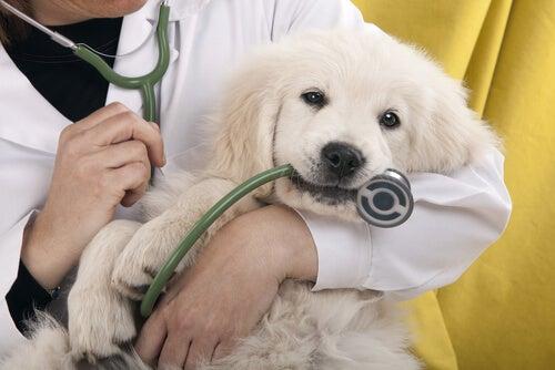 Étapes à suivre avant de soumettre votre animal à une opération
