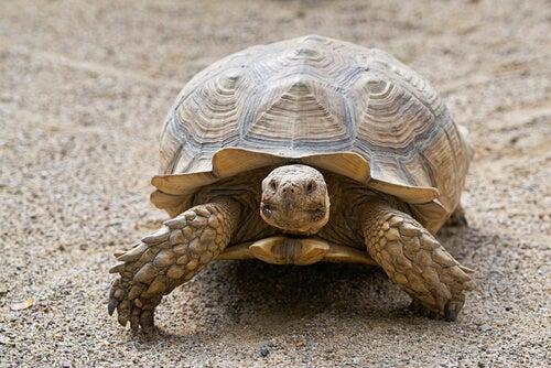 Comment connaitre l'âge d'une tortue ?