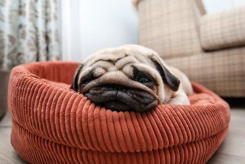 Un carlin dort dans un panier