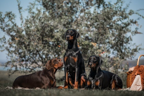 Un groupe de Dobermans
