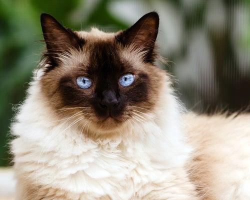 un chat siamois aux poils longs