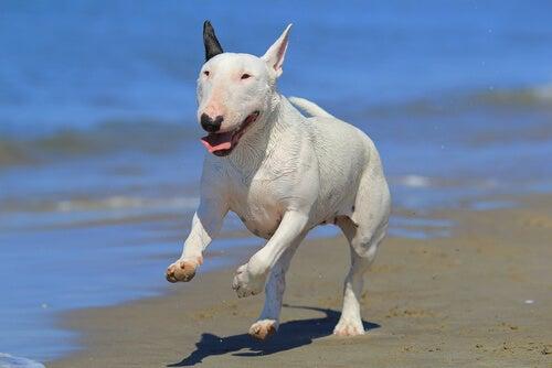 bull terrier qui court sur la plage