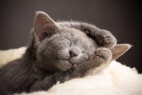 un chaton bleu russe