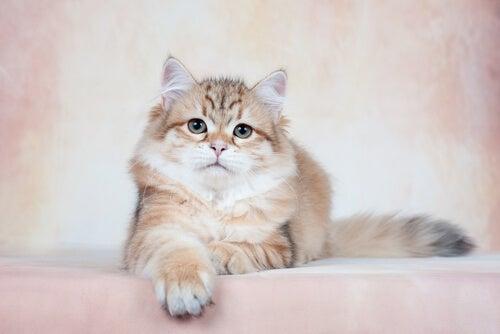un chat aux poils longs qui pose