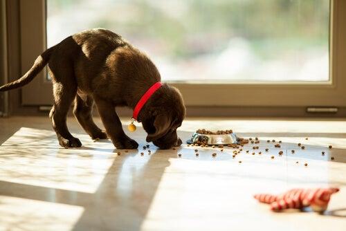 un chiot mangé des croquettes tombées de son bol