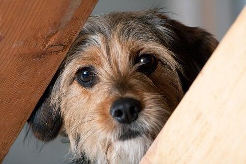 un petit chien vu de près caché derrière des poutres en bois