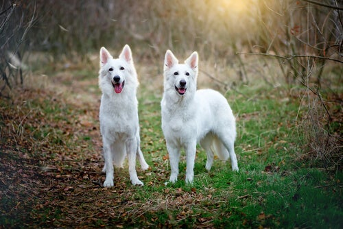 Pourquoi une chienne monte une autre chienne ?