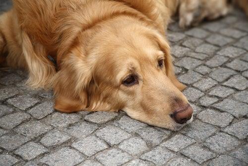 Un chien déprimé est couché sur le sol, la tête posé sur les pavés