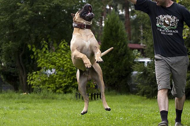 Le Dogue des Canaries, un chien original