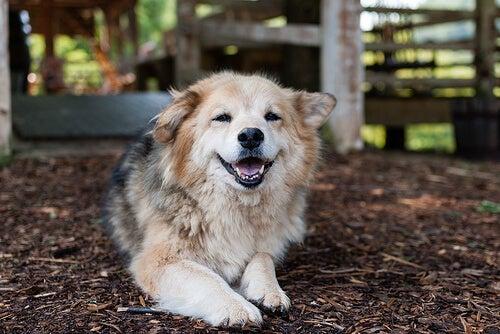 La dysplasie de la hanche chez les chiens : qu'est-ce et comment se soigne-t-elle ?
