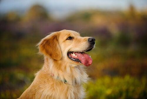 Un Golden retriever la langue pendue