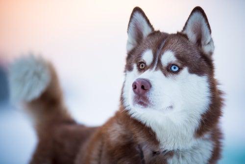 un Husky brun aux yeux vairons