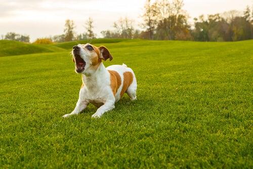 chien couché dans l'herbe qui aboie