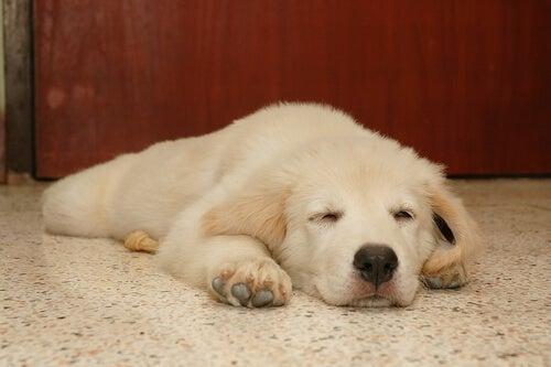 De quoi rêvent les chiens ? Faut-il les réveiller ?