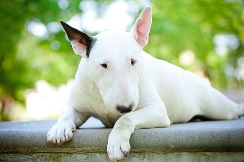 pitbull terrier couché par terre