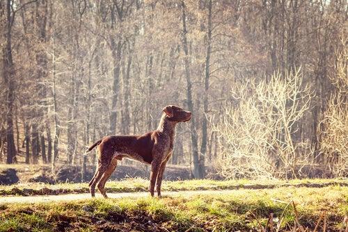 Un Pointer brun dans la forêt