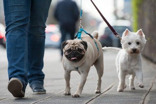 un homme tient deux chiens en laisse