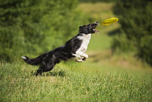 un border collie noir et blanc saute sur un frisbee jaune