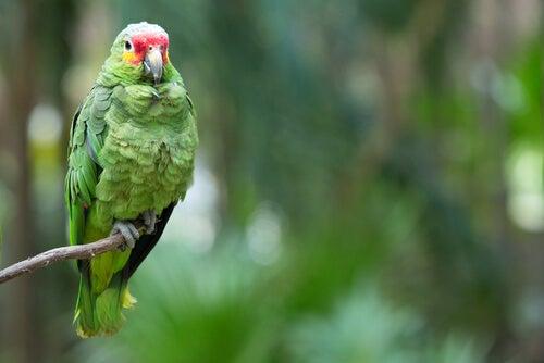 une variété des perroquet vert à la tête jaune et rouge
