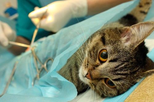un chat se fait opérer