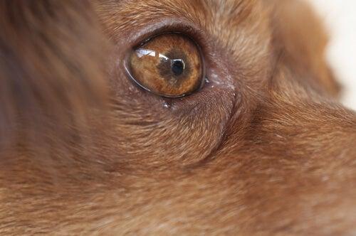 gros plan sur un œil de chien