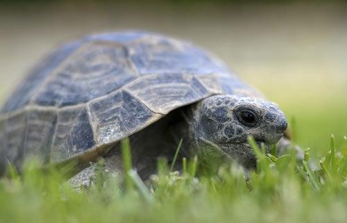 Une tortue de terre se promène dans l'herbe