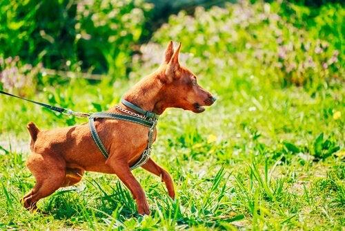 Un petit chien attaché avec un harnais, dans les bois
