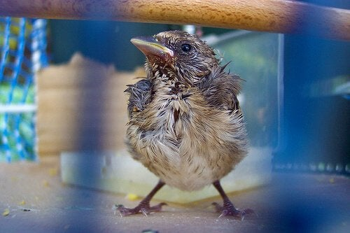 Un jeune oiseau dans une cage se tient debout