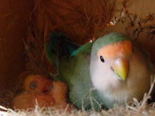 Un perruche et ses deux oisillons dans leur nid