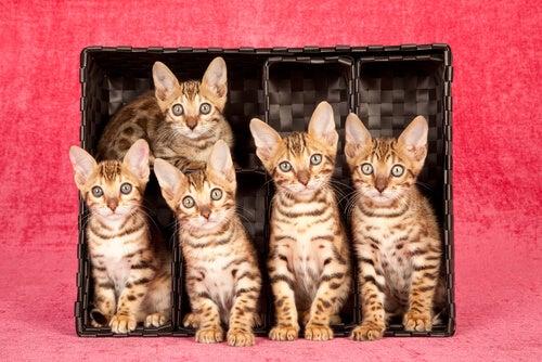 5 chats du Bengale dans une boîte