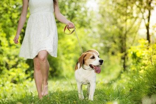 Un chien promené par une jeune femme dans une clairière