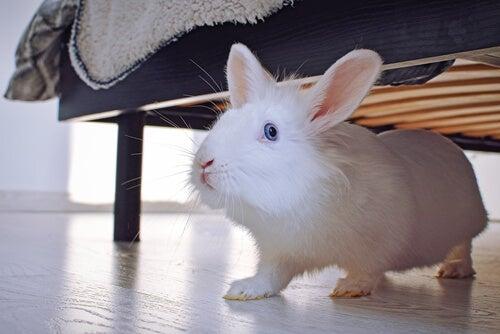 Un lapin blanc aux yeux bleus sous un lit