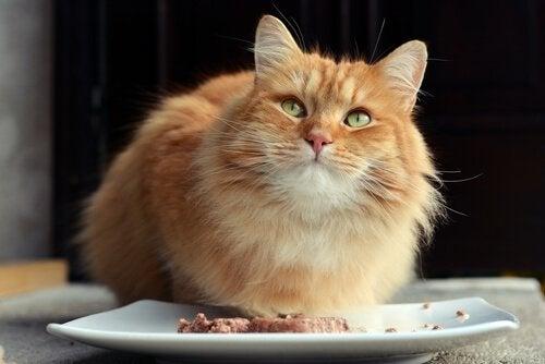 Un chat roux face à une assiette de viande
