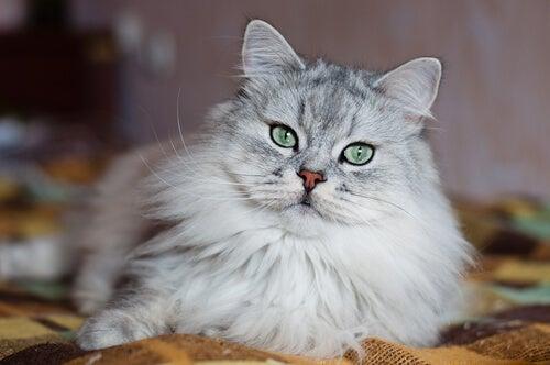 Un chat gris type angora allongé