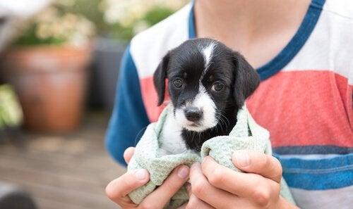 chiot emmitouflé dans une serviette