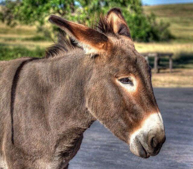 un âne vue de près baisse les oreilles en arrière