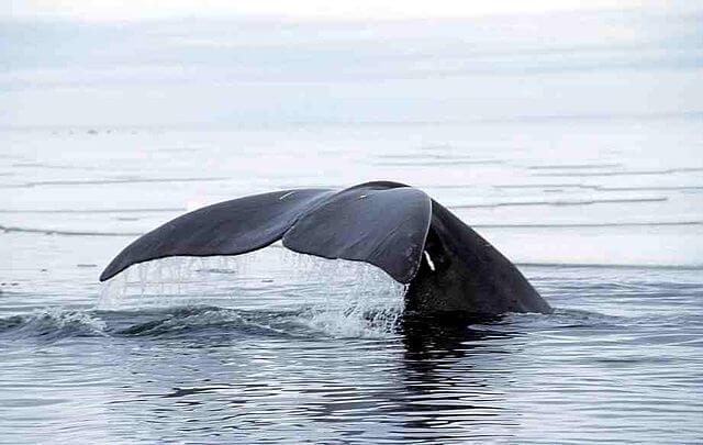 La queue d'une baleine dans l'eau