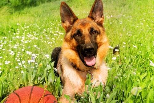 un berger allemand dans l'herbe avec un ballon de basket