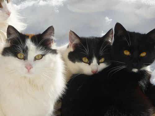 Le chat Bobtail Japonais : animaux de compagnie historiques.