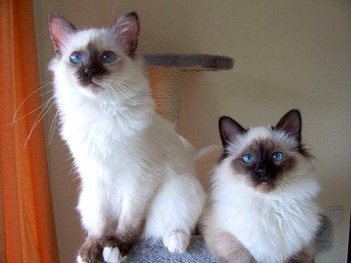 deux chats Birmans