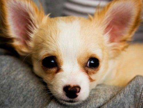 la tête d'un chihuahua beige allongé