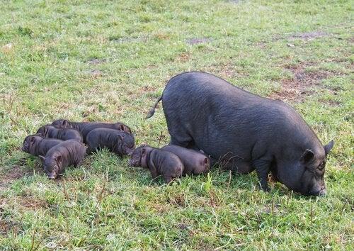Le cochon vietnamien en tant qu'animal de compagnie