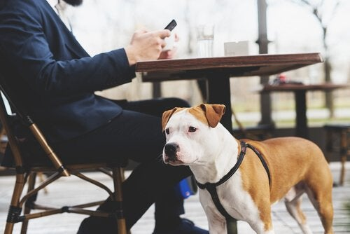 un jeune pitbull porte un harnais avec son maître à la terrasse d'un café