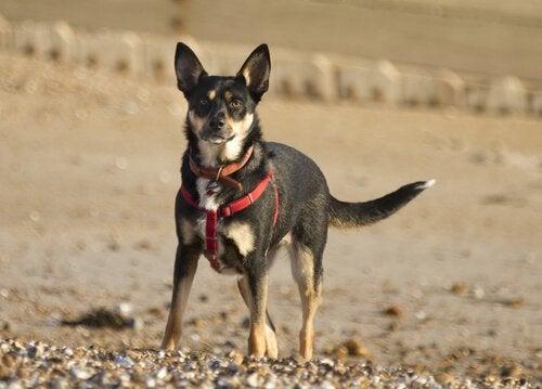 un chien type pinscher porte un harnais sur la plage