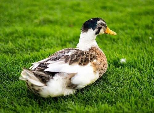 Le canard comme animal de compagnie : un compagnon très affectueux