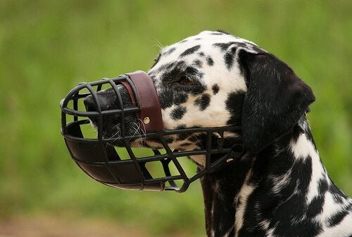 Un dalmatien avec une muselière large (pour entrouvrir la gueule)