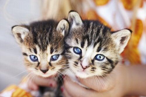 deux petits chatons dans les mains de leur maitre