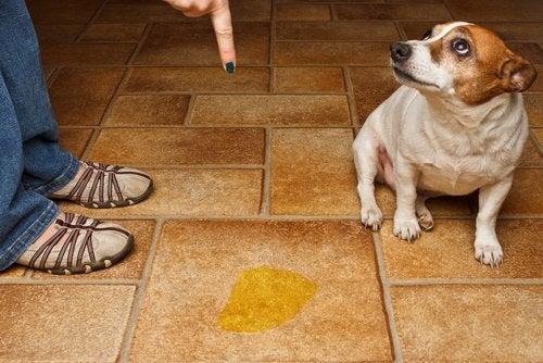 chien qui a uriné par terre