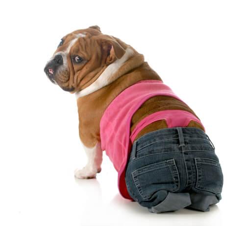 Une chienne bouledogue anglais avec un baggy et string
